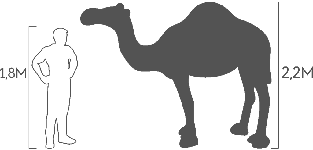 пропорции верблюд одногорбный