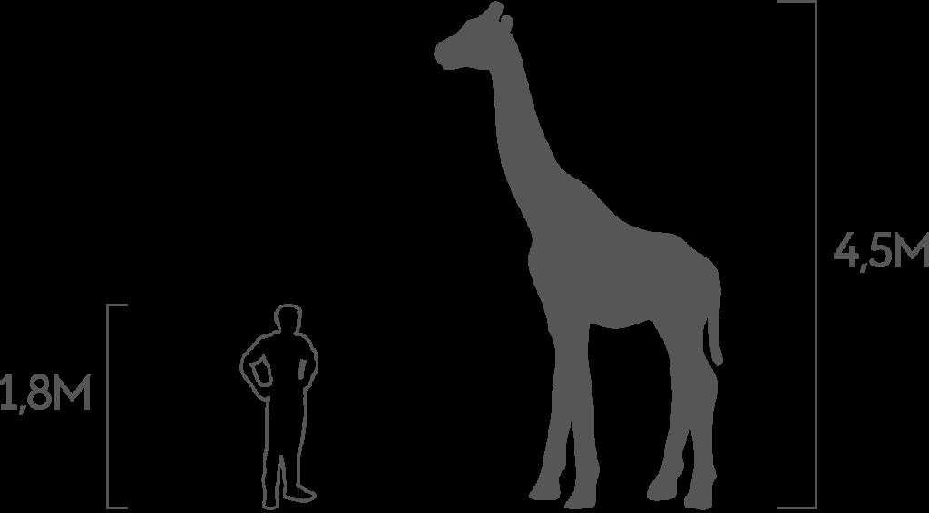 пропорции жираф