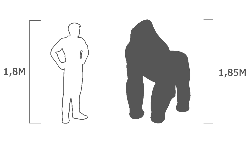 пропорции горилла
