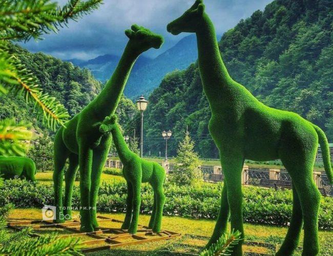 Композиция топиари Жирафы